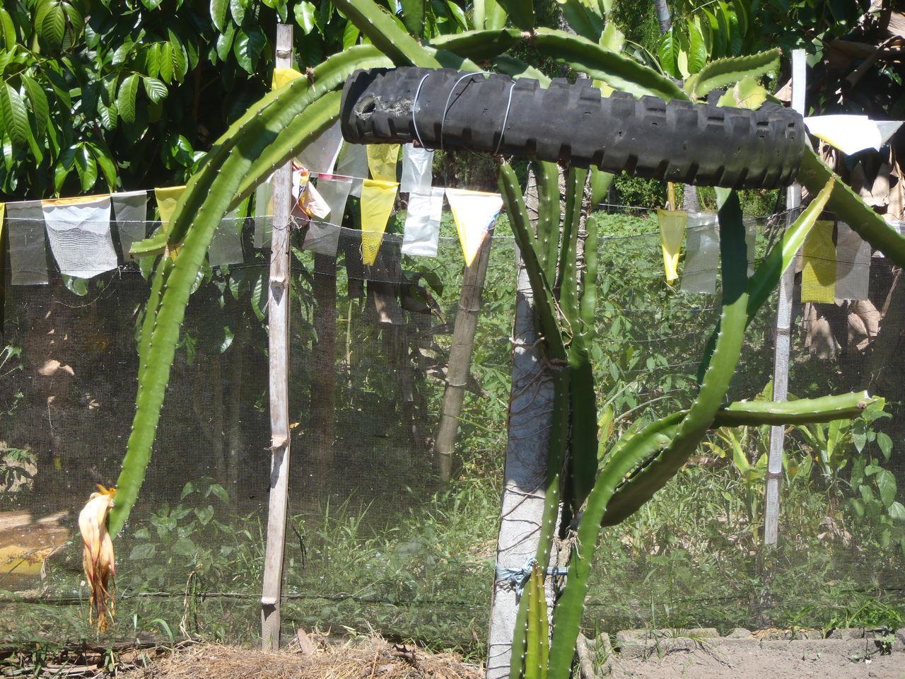 野菜がフィリピンを救う!?