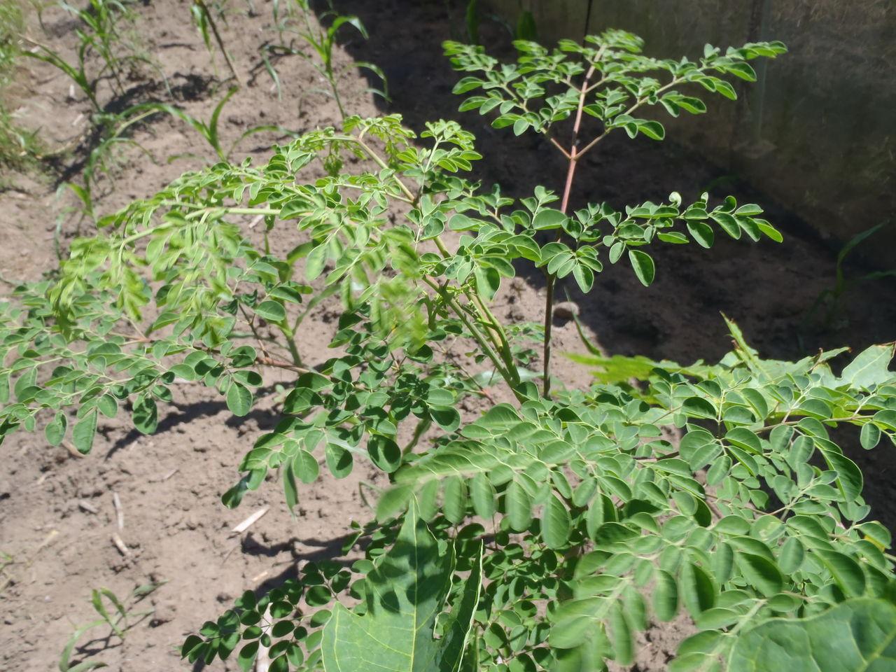 ドゥマゲッティーのどこにでも生っている植物カラモンガイ 人類の健康と地球環境を守る生命の木
