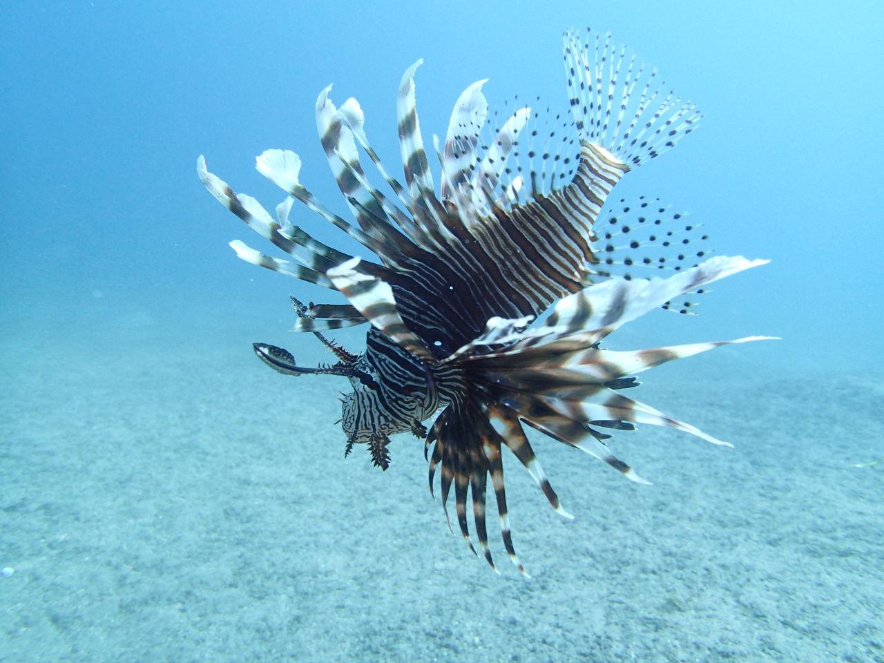 夏休み、お盆休み直前ダイビングスペシャル ドゥマゲテの不思議な生物達