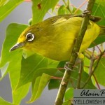 Yellowish white eye