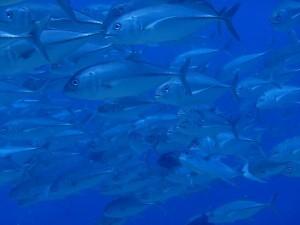 スミロン島のギンガメアジ
