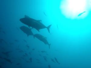 シキホール島回遊魚