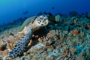 アポ島のウミガメ2