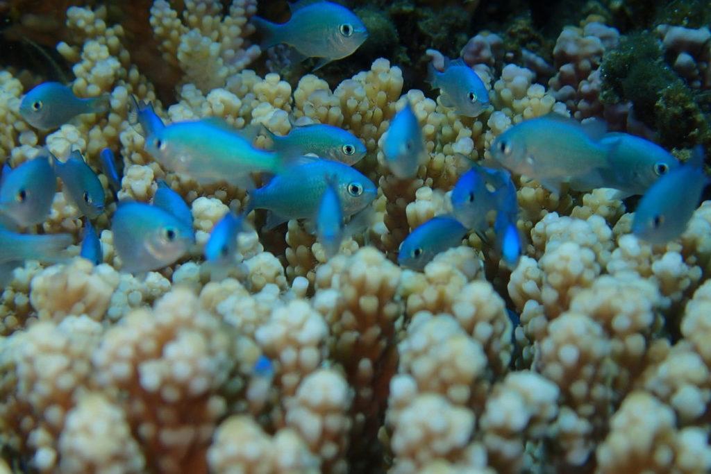 ドゥマゲッティのデバスズメダイの幼魚
