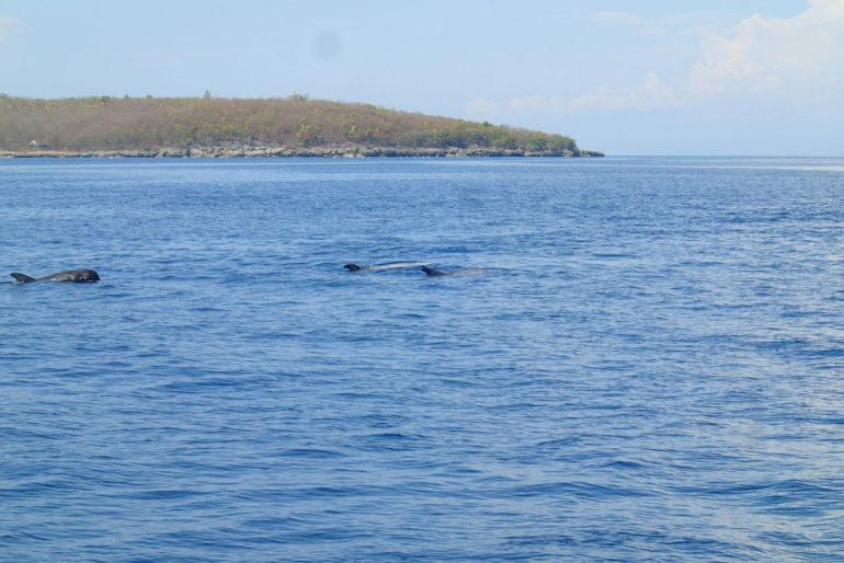 スミロン島で白いクジラ、イルカの群れに遭遇!!