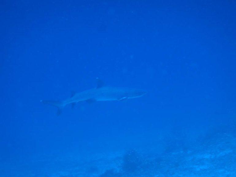 スミロン島でみたホワイトチップシャーク