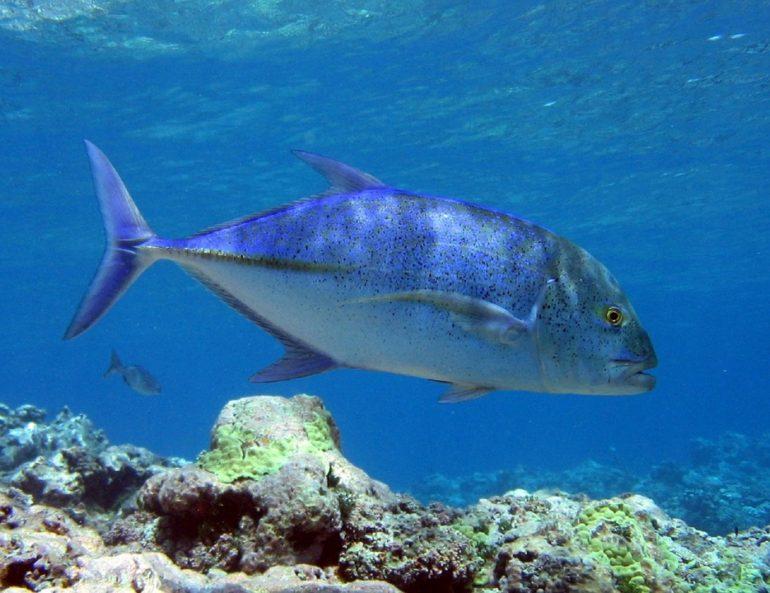 スミロン島ダイビング動画 カスミアジと穏やかなサンゴ礁