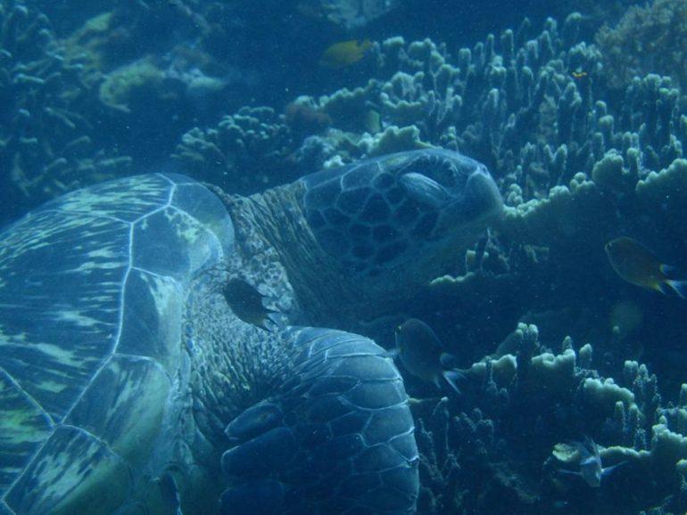 アポ島寝ているウミガメ