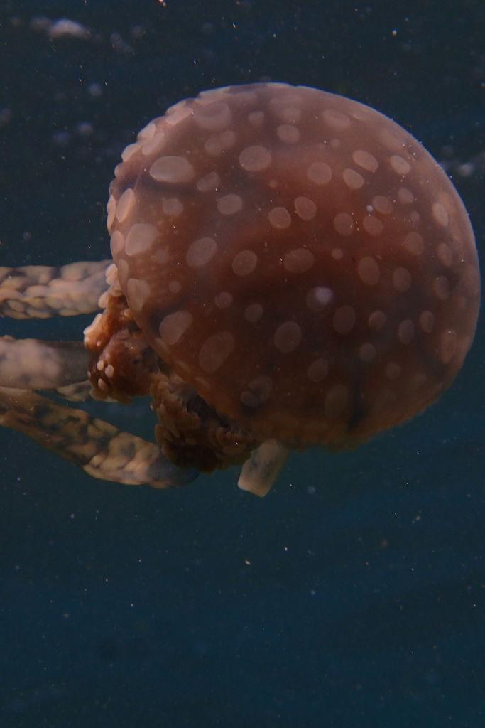 クラゲはマクロで絵になる