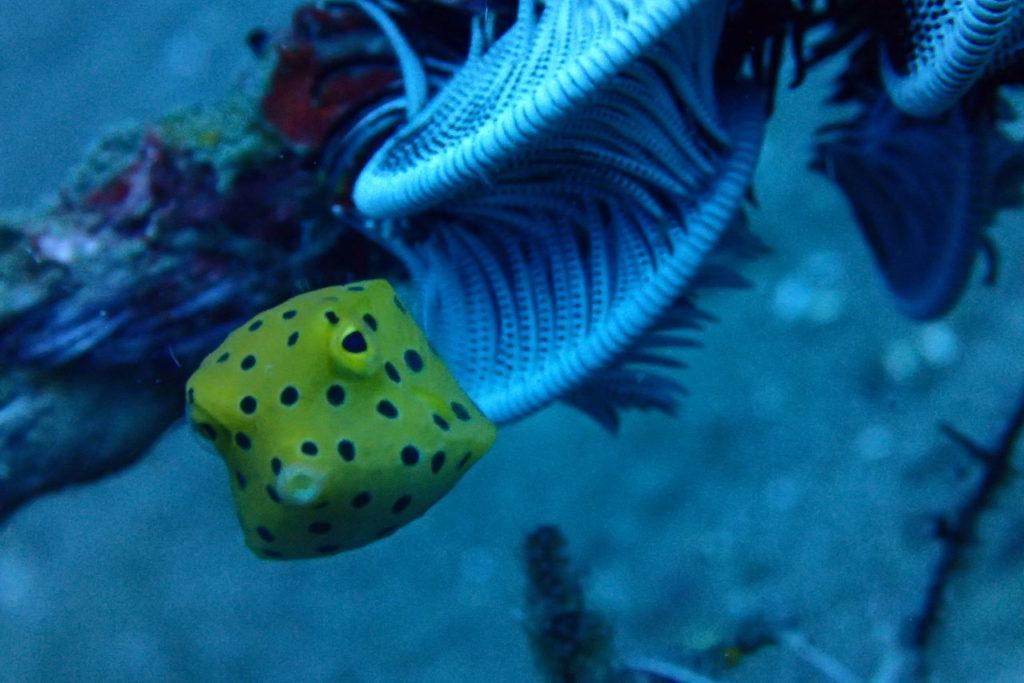 ダーウィンお茶目なミナミハコフグの幼魚