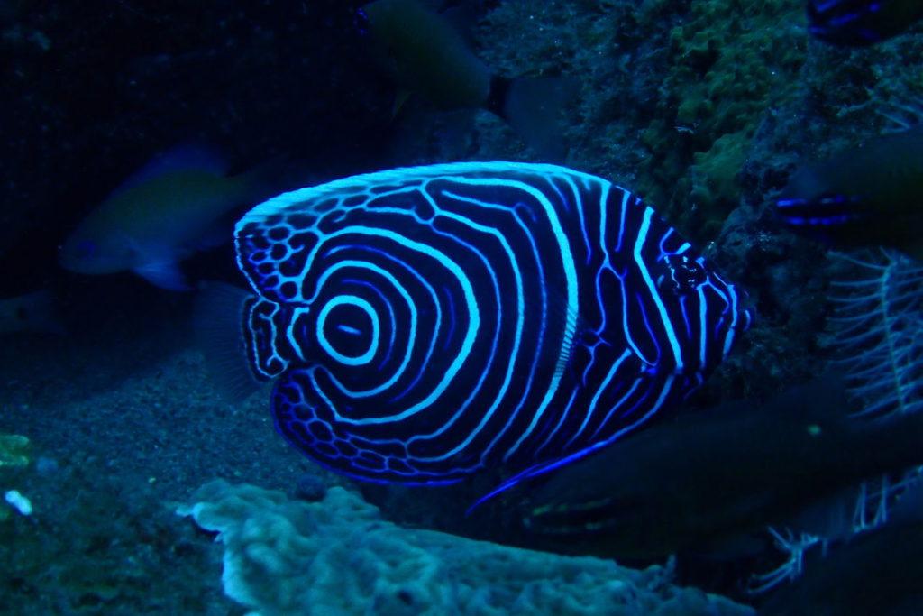 成魚とはまったく違う模様のタテジマキンチャクダイの幼魚