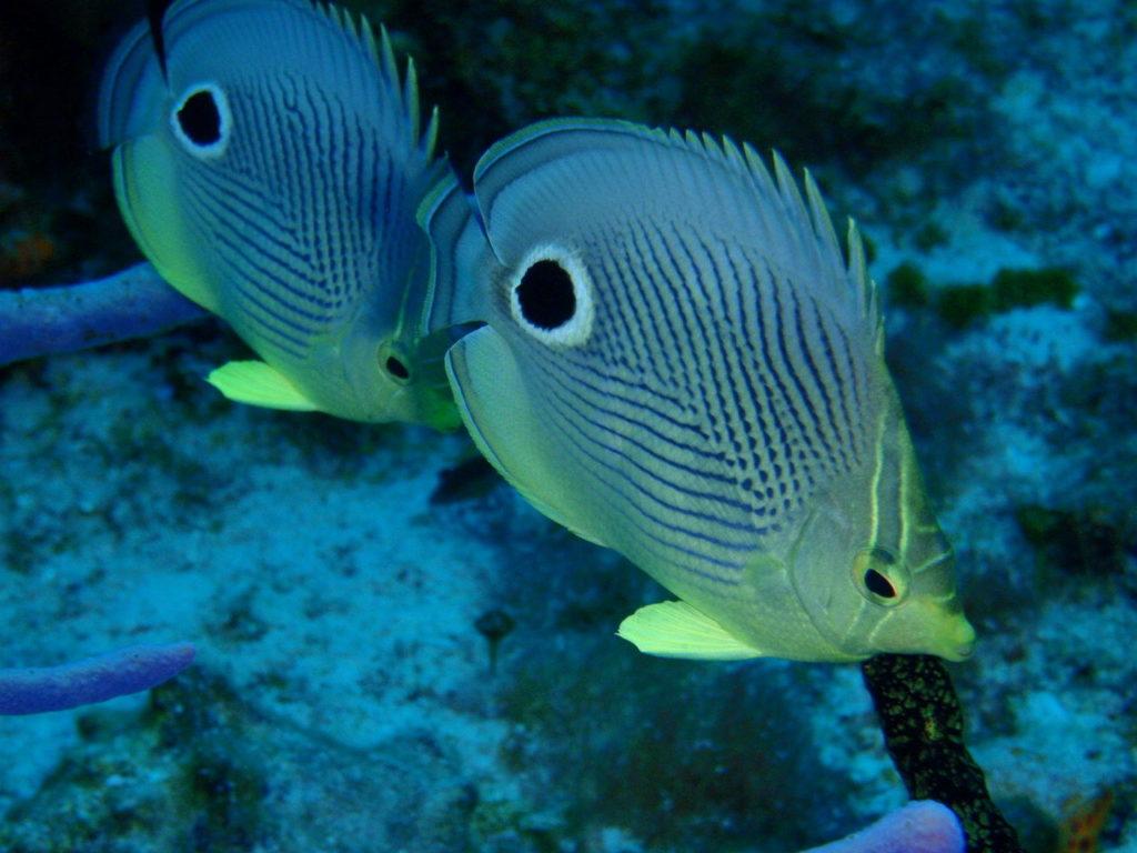 カリブ海のチョウチョウオの仲間