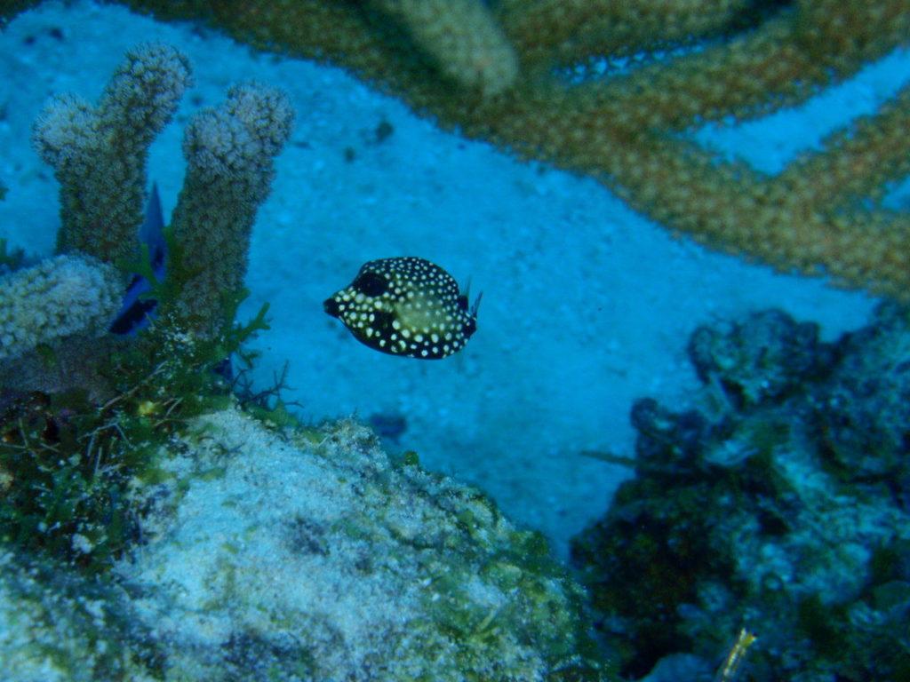 カリブ海のハコフグの幼魚