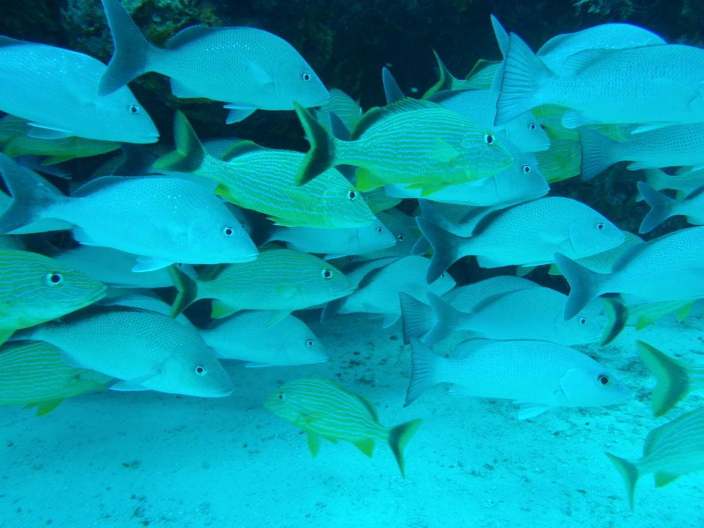 カリブ海のフエダイの仲間