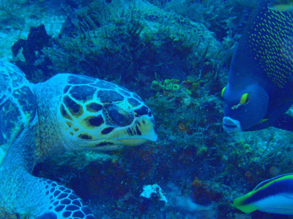 カリブ海の少し険しいウミガメ