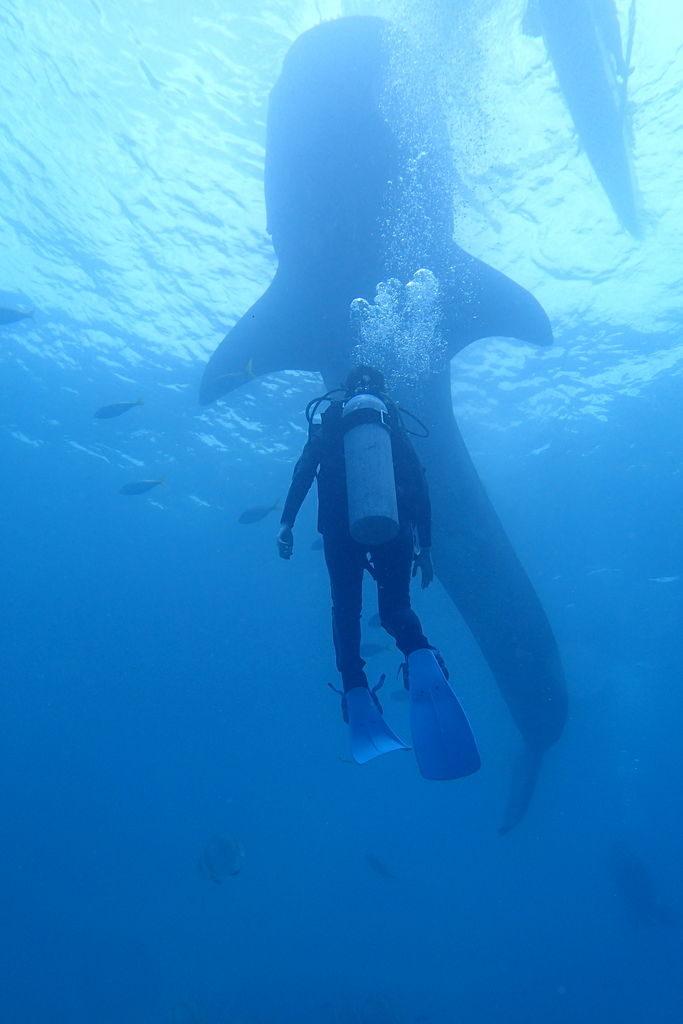 ジンベイザメと女性ダイバー
