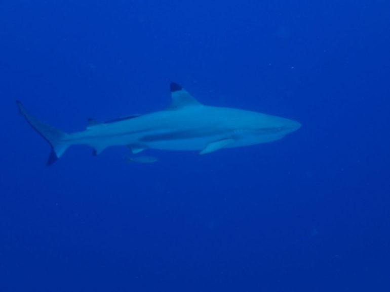 スミロン島のサメ特集