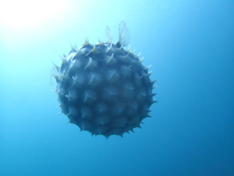 ドゥマゲッティの海で見られるフグ特集