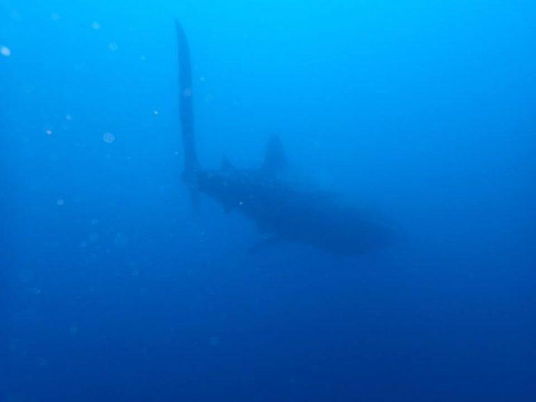 ドゥマゲッティ近郊のビーチでジンベイザメが出た