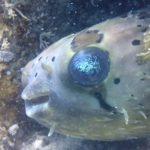 ドゥマゲッティで見られる水中生物紹介(フグ編)