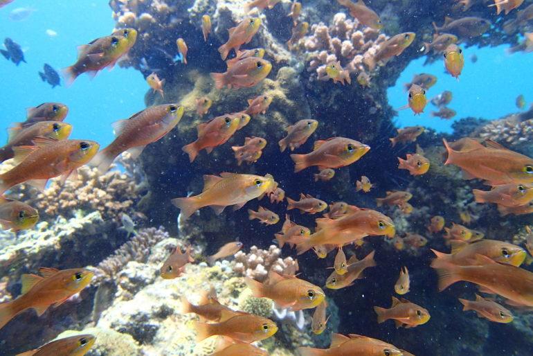 ドゥマゲッティの水中生物比較テンジクダイ科3種