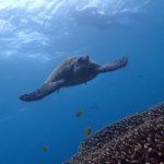 家族でアポ島でウミガメと泳ぐ